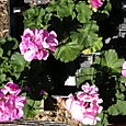 My Granddaddy's geraniums